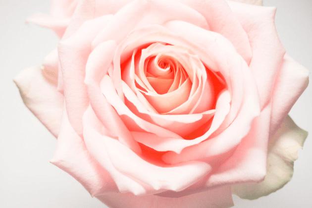 Vista de una rosa